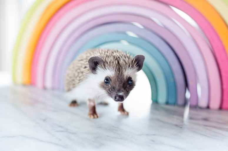 close up photo of a hedgehog beside rainbow curved frame
